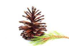 Cones various coniferous trees. Cones various coniferous trees on white background Royalty Free Stock Photos