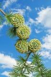 Cones verdes do pinho Foto de Stock Royalty Free