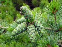 Cones verdes do pinho fotografia de stock royalty free