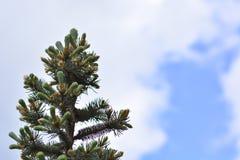 Cones verdes pequenos no close up da árvore de abeto, macro O tempo de mola… aumentou as folhas, fundo natural Fotografia de Stock