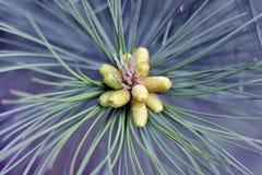 Cones verdes pequenos no close up da árvore de abeto, macro O tempo de mola… aumentou as folhas, fundo natural Imagem de Stock