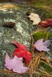 Cones vermelhos da folha e do pinho Foto de Stock
