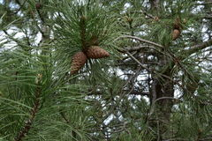 Cones. Walking in the Pine Forest Royalty Free Stock Images