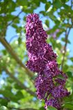 Coneshaped lilac - Syringa. Dark purple colored coned cluster of lilac flowers on a tree royalty free stock photo