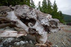 Conexión llamativa de la madera de deriva la playa en la bahía de la batalla foto de archivo