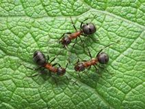 Conexión roja de las hormigas con las antenas Imagen de archivo libre de regalías