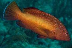 coney cephalophis стоковые фото