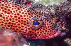 Coney,Cephalopholis fulva. At cleaning station underwater pederson shrimp stock photo