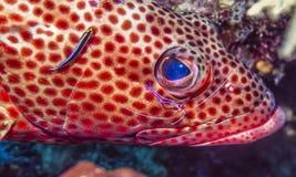 Coney,Cephalopholis fulva. At cleaning station underwater pederson shrimp royalty free stock image