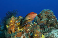 Coney - Cozumel, Mexico. Coney (Cephalopholis fulva) on a coral reef - Cozumel, Mexicorn Royalty Free Stock Photography