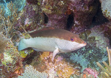 Coney Underwater coral reef Stock Images