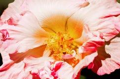 Confederate Rose Flower Stock Image