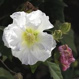 Confederate Rose Mallow Hibiscus Blossom. This is a confederate or cotton rose, hibiscus Malvaceae that starts out white and then matures from pink to red Stock Images