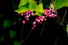 Confederate vine, Coral vine, Mexican coral vine, Mexican creepe. R, Queen's jewels, Queen's wreath Royalty Free Stock Images