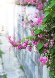 Confederate vine flower Stock Photo