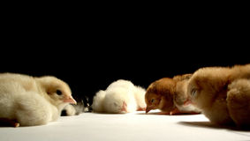 Conference.......(1). Here is a chickens forum with five cubs Royalty Free Stock Photography
