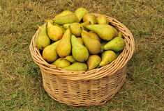 Conference pear basket Royalty Free Stock Images
