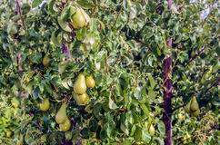 Conference pears ripening in a Dutch orchard Royalty Free Stock Image