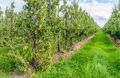 Conference pears ripening in a modern Dutch orchard Royalty Free Stock Photos