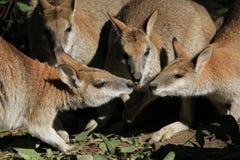 Conferenza del wallaby Immagini Stock Libere da Diritti