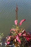 Confertus Rumex Herba cum красные folia в Сибире стоковое фото rf