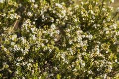 Confetti Bush Coleonema calycinum Royalty Free Stock Image