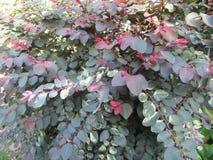 Confetti Bush Garden Beauty. Flowers, leaves, colour, background, nature, planter, plants stock image