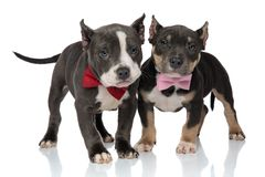 Confident American Bully puppies looking forward. Confident American Bully puppy protecting his scared friend, both looking forward and wearing bowties while royalty free stock photos