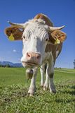 Confident cow on green mountain meadow Royalty Free Stock Images