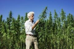 Confident entrepreneur checking hemp plants stock photos