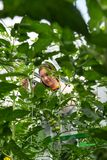 Confident female worker pruning tomato plants in greenhouse Stock Photo