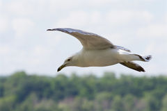 The confident gull in the flight with the trees and sky on the background Royalty Free Stock Photos