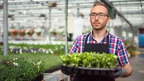 Confident male farmer walking with box full of seedling working in greenhouse medium close-up. Man agricultural worker bringing plants surrounded by flowers stock video