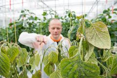 Confident male researcher pointing at bell pepper plant in green Royalty Free Stock Images