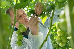 Confident male scientist wearing protective clothing while exami. Scientist Examining Leaf Of Tomato Plant In Greenhouse Royalty Free Stock Photo