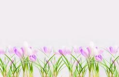 Configuração de açafrões brancos roxos bonitos no fundo claro Fotografia de Stock Royalty Free