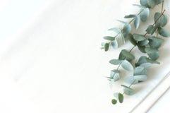 Configuração elegante do plano do eucaluptus natural Fotografia de Stock Royalty Free