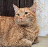 Configurações vermelhas gordas do gato fotografia de stock