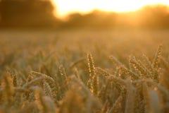 Configuración de Sun sobre campo de trigo fotografía de archivo libre de regalías