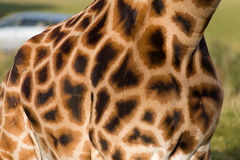 Configuration de camouflage sur une giraffe Image stock