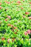 Configuration de fleur de coccinea d'Ixora Image libre de droits