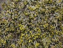 Configuration de fond d'algue Photos libres de droits