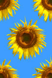 Configuration de tournesol Photo stock