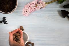 Configuration plate des préparations de jardin de ressort Fleurs de jacinthe et outils de vintage sur la table, vue supérieure Pa photo libre de droits