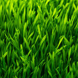 Configuration saine d'herbe Photographie stock