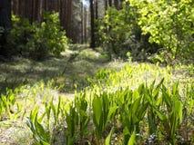Configurations des majalis de Convallaria du muguet fleurissant dans la forêt photographie stock
