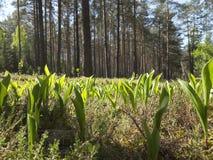 Configurations des majalis de Convallaria du muguet fleurissant dans la forêt photographie stock libre de droits