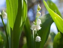 Configurations des majalis de Convallaria du muguet fleurissant dans la forêt photo libre de droits