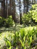 Configurations des majalis de Convallaria du muguet fleurissant dans la forêt image stock