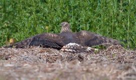 Configurations femelles de harrier de Montagus au-dessus de foin tandis que le soleil se bronzant dans le domaine images libres de droits